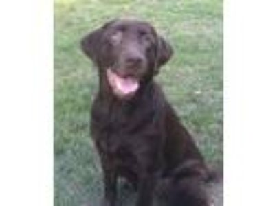 Adopt Chance a Brown/Chocolate Labrador Retriever / Mixed dog in Buckeystown