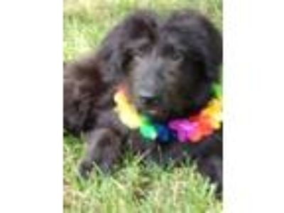 Adopt Petey a Black Labradoodle / Spaniel (Unknown Type) / Mixed dog in