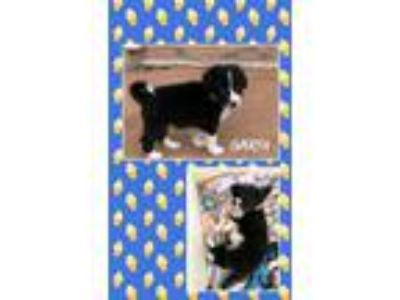 Adopt Garth PENDING P/U a Black - with White Border Collie / Mixed dog in Genoa