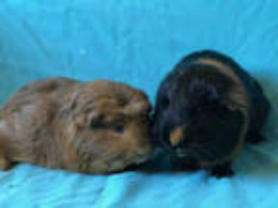 Adopt DONALD a Black Guinea Pig / Mixed small animal in Urbana, IL (25828321)