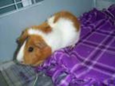 Adopt Momo a Brown or Chocolate Guinea Pig / Guinea Pig / Mixed small animal in
