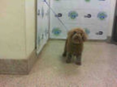 Adopt MARLIN a Brown/Chocolate Poodle (Toy or Tea Cup) / Mixed dog in Doral