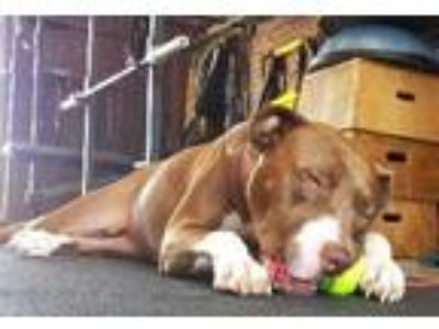 Adopt Zipper a Brown/Chocolate - with White American Pit Bull Terrier /