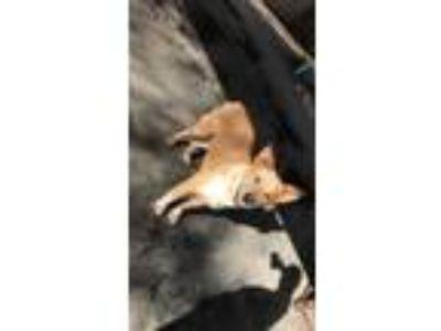 Adopt Raph a Red/Golden/Orange/Chestnut Australian Cattle Dog / Retriever