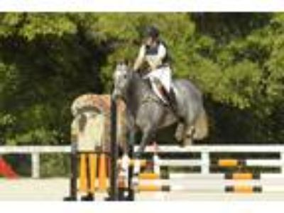 Lovely young TB mare eventing and foxhunting experience reduced