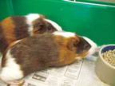 Adopt Ginny a Brown or Chocolate Guinea Pig / Guinea Pig / Mixed small animal in