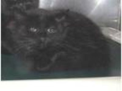 Adopt WASABI a All Black Domestic Mediumhair / Domestic Shorthair / Mixed cat in