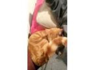 Adopt Tigger a Orange or Red Tabby Domestic Shorthair / Mixed cat in Olyphant