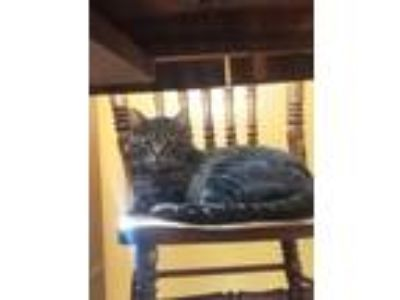 Adopt Fritty a Domestic Short Hair