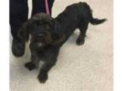 Adopt Dog a Black Cocker Spaniel / Poodle (Miniature) / Mixed dog in Jurupa