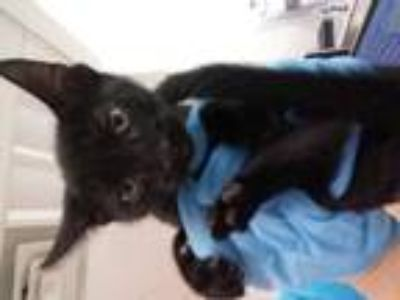 Adopt BENDY a All Black Domestic Shorthair / Mixed (short coat) cat in Fort