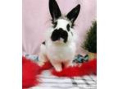 Adopt Starla a White Other/Unknown / Lionhead / Mixed rabbit in Corvallis