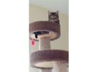 Adopt Pepper a Spotted Tabby/Leopard Spotted American Shorthair / Mixed cat in
