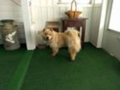 Adopt Molly a Tan/Yellow/Fawn Chow Chow dog in Apex, NC (25250234)
