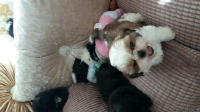Astounding Shih Tzu Puppies