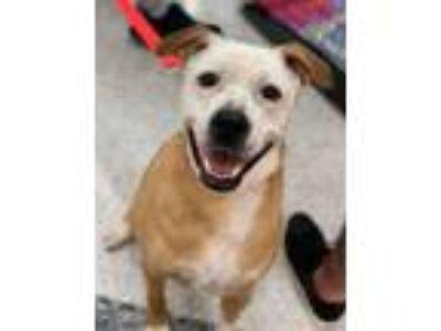 Adopt Bea a Labrador Retriever, American Staffordshire Terrier