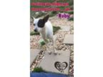 Adopt Ruby a White - with Black Rat Terrier / Mixed dog in Allentown