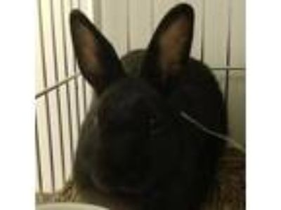 Adopt Matthew a Black American / Mixed (short coat) rabbit in Los Angeles