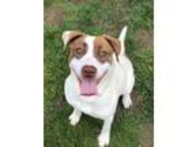 Adopt Cleo a White - with Brown or Chocolate Pit Bull Terrier / Mixed dog in Bay