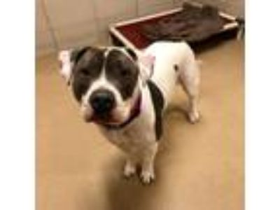 Adopt Mina a White American Pit Bull Terrier / Mixed dog in Milwaukee