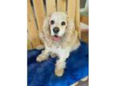 Adopt Wally a Cocker Spaniel