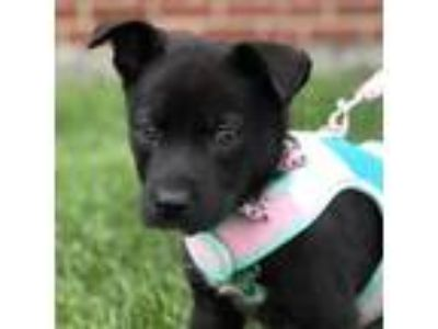 Adopt Dahlia a Black Retriever (Unknown Type) / Border Collie / Mixed dog in