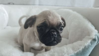 Pug - Male - Pugee ($1,299)