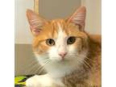 Adopt Cooper a Domestic Short Hair, Tabby