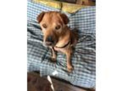 Adopt Josh a Tan/Yellow/Fawn Labrador Retriever / Shar Pei / Mixed dog in Long