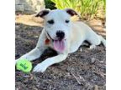 Adopt Haylee a White - with Black Pit Bull Terrier / Mixed dog in Sunnyvale