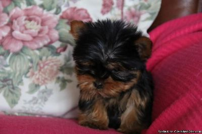 fgvb Yorkshire Terrier Puppies for sale