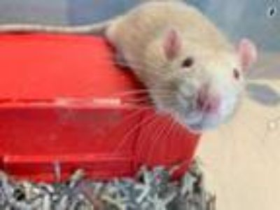 Adopt Toasted Marshmallow a Tan or Beige Rat / Rat / Mixed small animal in