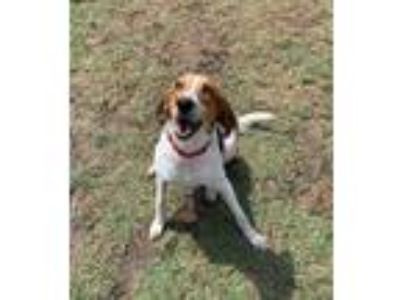Adopt Zoe a American Foxhound, Pointer
