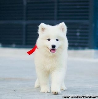 Sociable Samoyed Puppies Available Now