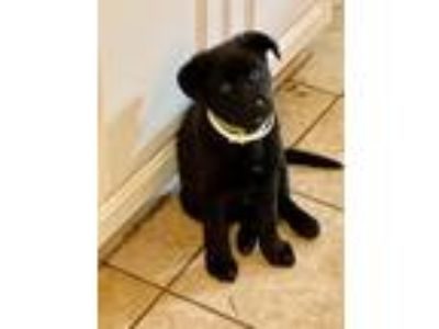 Adopt Cole a Black Retriever (Unknown Type) / Anatolian Shepherd / Mixed dog in