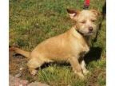 Adopt Penelope a Terrier (Unknown Type, Medium) / Mixed dog in Atlantic City