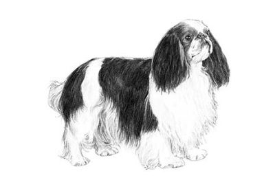 English Toy Spaniel Puppies