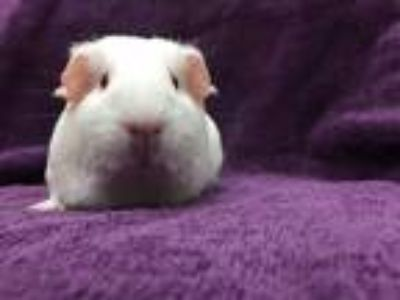 Adopt Hypatia (living with female relatives) a White Guinea Pig small animal in