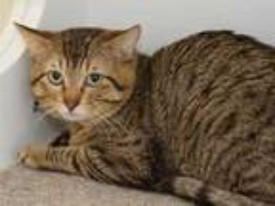 Adopt Topper a Brown or Chocolate Domestic Shorthair / Domestic Shorthair /
