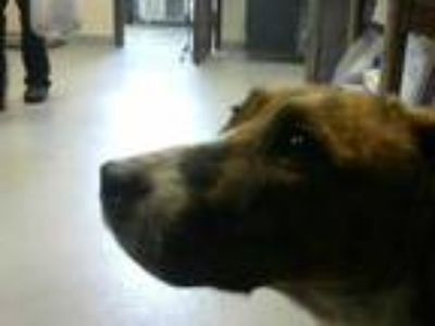 Adopt a Brindle - with White American Pit Bull Terrier / Mixed dog in