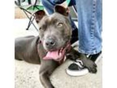 Adopt Dinah * Foster or Adopt* a Staffordshire Bull Terrier
