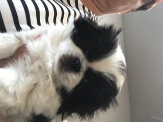 Japanese Chin PUPPY FOR SALE ADN-79814 - Starr
