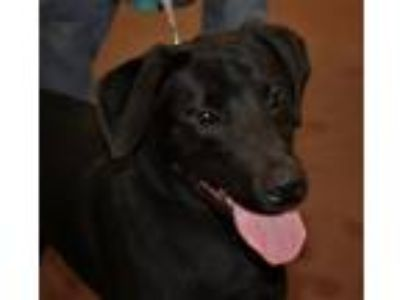 Adopt Bruno a Black Labrador Retriever / Mixed dog in Batavia, NY (25283567)