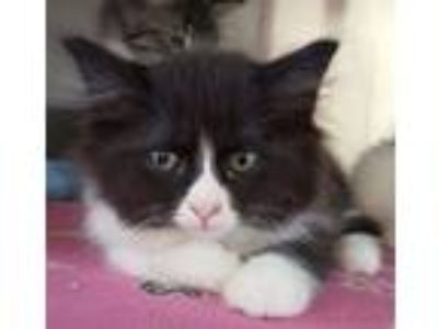 Adopt Romaine a Domestic Long Hair