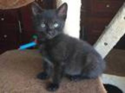 Adopt Spyder a All Black Domestic Shorthair / Domestic Shorthair / Mixed cat in