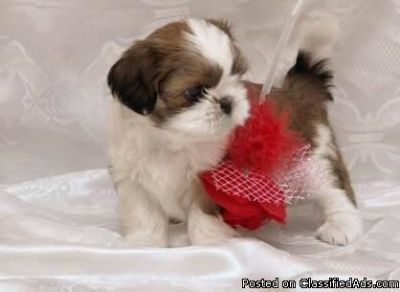 %%%% Shih Tzu with lots of happiness and love to offer