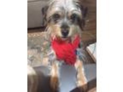 Adopt Butter Cup a Yorkshire Terrier