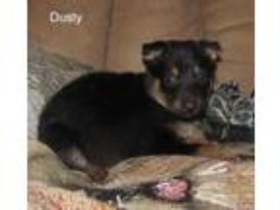 Adopt Dusty a Black German Shepherd Dog / Mixed dog in Wisconsin Rapids