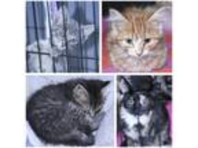 Adopt KITTENS a Brown Tabby Domestic Shorthair (short coat) cat in Lebanon