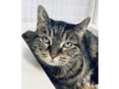 Adopt Pickles a Domestic Short Hair